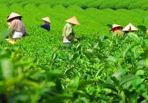 怎样选选购茶叶 荼叶怎么保存好缩略图