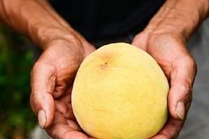 水蜜桃和水蜜桃哪一个美味,吃水蜜桃腹泻该怎么办缩略图