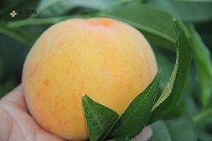黄桃和西梅的差别,黄桃是西梅嫁接法的吗缩略图