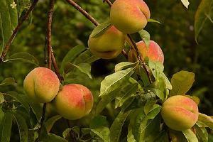糖尿病可以吃黄桃吗,黄桃含钾高吗缩略图