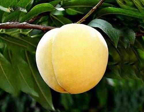 黄桃能够冷藏储存吗,鲜黄桃怎样冷藏储存缩略图