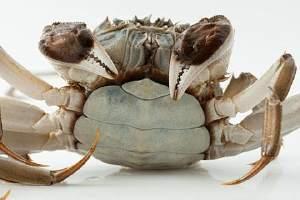 大闸蟹是螃蟹吗,螃蟹和大闸蟹的差别缩略图