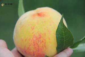 黄桃能够放几日,黄桃一天吃好多个适合缩略图
