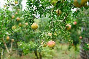 石榴和水蜜桃能一起吃吗,石榴相克食物有那些缩略图