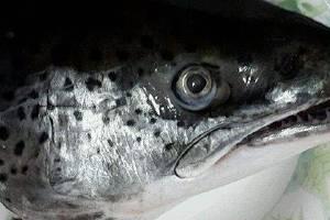 三文鱼头的作用与功效,三文鱼的营养成分缩略图