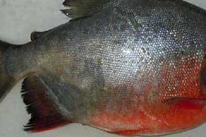 怀孕的人不可以红鲳鱼,红鲳鱼怀孕可以吃吗缩略图