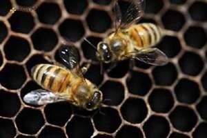 蜂胶有生长激素吗,蜂胶含吃激素吗,蜂胶中带有雌性激素吗缩略图