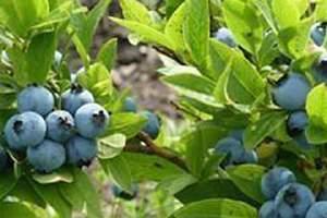 蓝莓怎么洗才整洁,蓝莓不洗能够立即吃吗缩略图