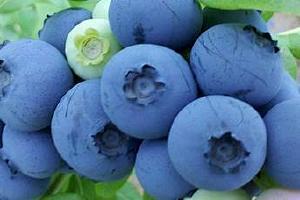 吃蓝莓会严重便秘吗,严重便秘可以吃蓝莓吗缩略图