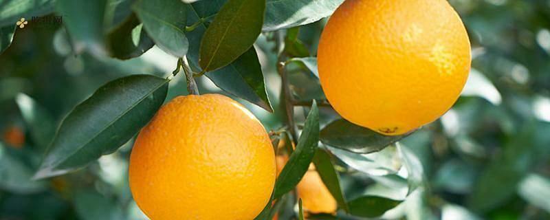 吃完芒果可以吃橙子吗 芒果有什么功效作用缩略图