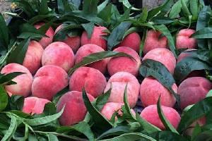 吃桃子会胖吗,桃子吃完会胖吗缩略图