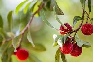 杨梅和菠萝蜜能够一起吃,吃杨梅和菠萝蜜的忌讳有什么缩略图