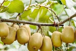 猕猴桃怎样10分钟变熟,猕猴桃没熟吃了会怎样缩略图