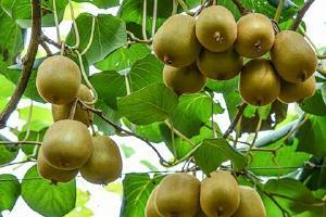 猕猴桃减肥效果好吗,猕猴桃怎么吃减肥缩略图