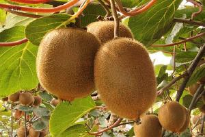 猕猴桃如何剥皮才好,猕猴桃一般怎么吃缩略图