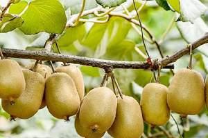 猕猴桃可以多吃些吗,猕猴桃和奇异果有什么不同缩略图