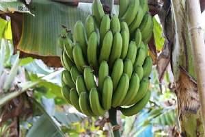 有点儿青香蕉可以吃吗,哪些香蕉不能吃缩略图