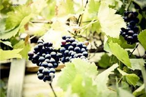 夏黑葡萄皮可以吃吗,夏黑葡萄怎么保存缩略图