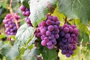 夏天吃葡萄有什么好处 揭秘葡萄8大神奇功效缩略图