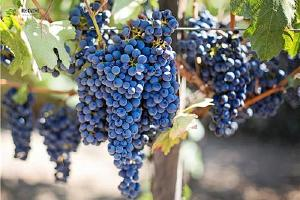空腹吃葡萄好吗 葡萄没熟能吃吗缩略图