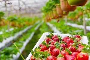 草莓和葡萄能一起吃吗,草莓怎么洗干净缩略图
