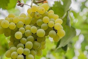 水晶葡萄有什么功效 吃水晶葡萄有什么作用缩略图