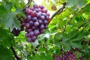 葡萄和什么一起吃最好,葡萄怎么选缩略图