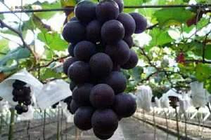 吃哪种葡萄营养价值最高,葡萄的其他功效缩略图