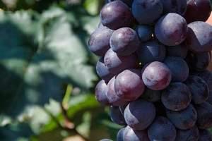 葡萄吃多了有什么坏处,葡萄吃多了会怎么样缩略图