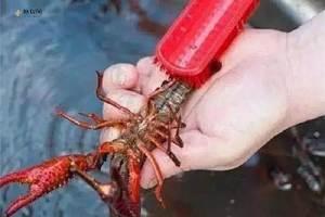 小虎虾怎么清洗最整洁 龙虾的清理方式缩略图