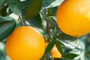 柚子苦是什么原因 柚子苦能吃吗缩略图