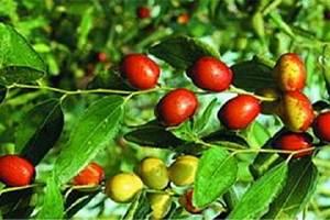 红枣有什么营养价值,吃红枣有什么好处缩略图