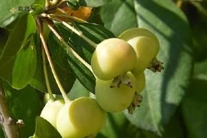 海棠果是不是小苹果 海棠果和苹果有什么区别缩略图