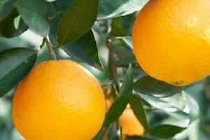 橙子与牛奶能一起吃吗,橙子和牛奶一起吃了怎么办缩略图