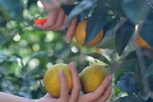 每天吃橙子有什么好处,橙子的禁忌人群缩略图