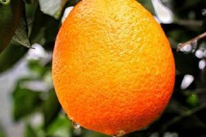 吃橙子的坏处,橙子打蜡有什么坏处缩略图