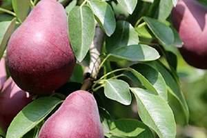 红啤梨产地中国哪里,红色的梨叫什么名字缩略图