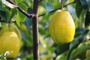 喝梨汁有什么好处,梨的食疗方法缩略图