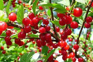 樱桃每次吃多少好,樱桃适宜什么人缩略图