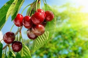 樱桃里面的虫子是蛆吗 樱桃里面的虫子可以吃吗缩略图
