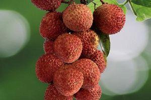 荔枝几月份成熟,荔枝几月份最好吃缩略图