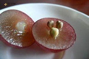 红提子的籽能吃吗,红提籽可以吃吗,红提籽可以直接吃吗缩略图