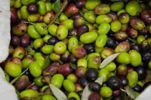 槟榔是橄榄做的吗,橄榄跟槟榔一样吃了有害吗缩略图