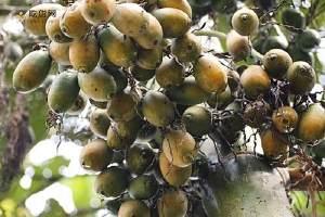 槟榔嚼多久吐掉 常吃槟榔有什么危害缩略图