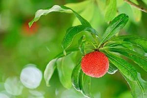 杨梅升糖指数高吗,血糖高能吃杨梅吗缩略图