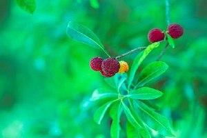 杨梅酒的杨梅可以吃吗,杨梅酒的保质期是多久缩略图
