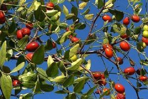 酸枣什么时候成熟,酸枣的成熟时间缩略图