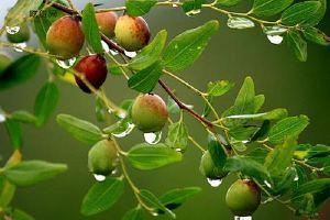 酸枣蜂蜜的功效与作用,酸枣蜂蜜有什么功效缩略图