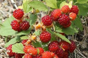 野草莓的功效与作用,野草莓的作用与功效,野草莓有什么功效缩略图