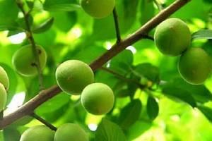 青梅是什么水果,青梅是什么,青梅是杏吗缩略图